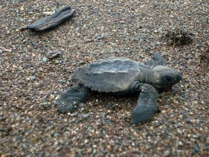 costa-rica-turtle-conservation-3-min